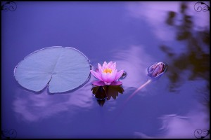 lotus, natural, water